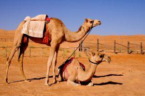 camels_oman