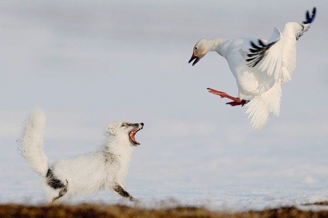 ganso-nieve-zorro
