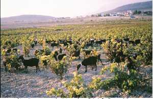 Cabras-Murcianas-aprovechan