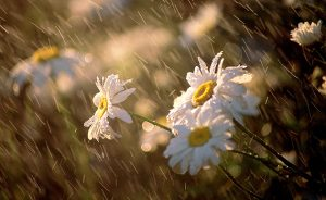 flowers-in-the-spring-rain1